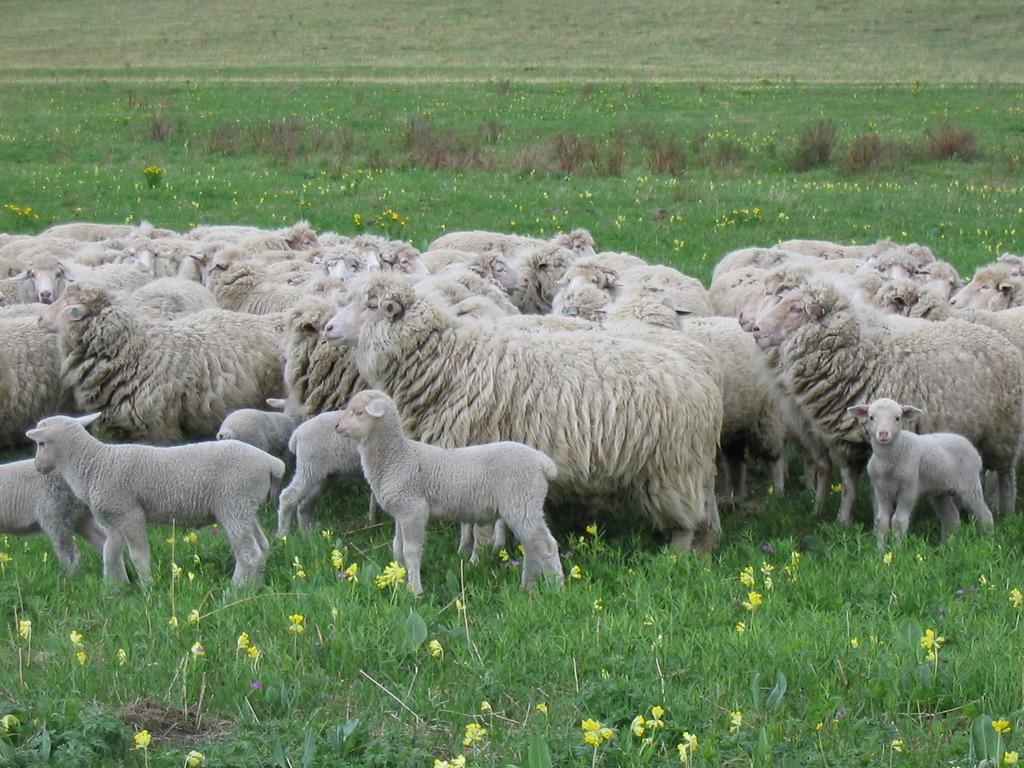 скачать овцеводство игру - фото 9